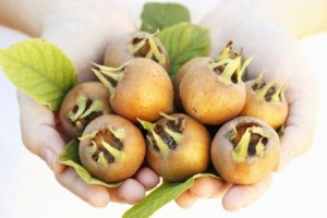Medlars in hands (Mespilus germanica)
